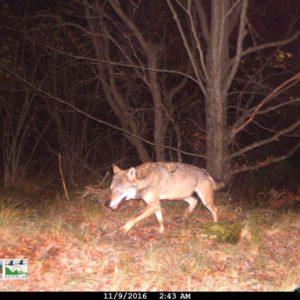 Il lupo sull'Appennino settentrionale