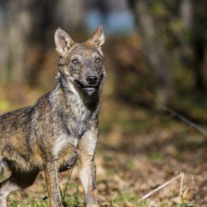 """Nasce l'area faunistica dei lupi ibridi nell'Oasi WWF """"Riserva del Lago di Penne"""""""