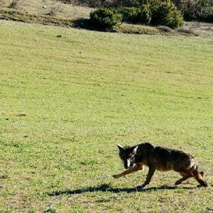"""""""Lupa Ragno"""" è tornata a correre nei suoi boschi munita di radiocollare"""