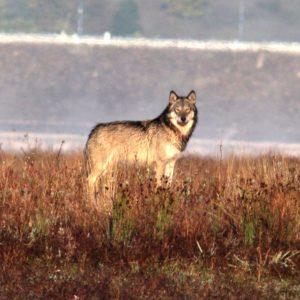 Il ruolo degli ibridi lupo-cane nella catena alimentare. Immagini inedite alimentano una nuova frontiera di indagine al progetto Mirco Lupo